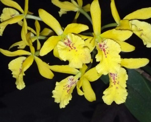 Yellow and pink laleocattleya
